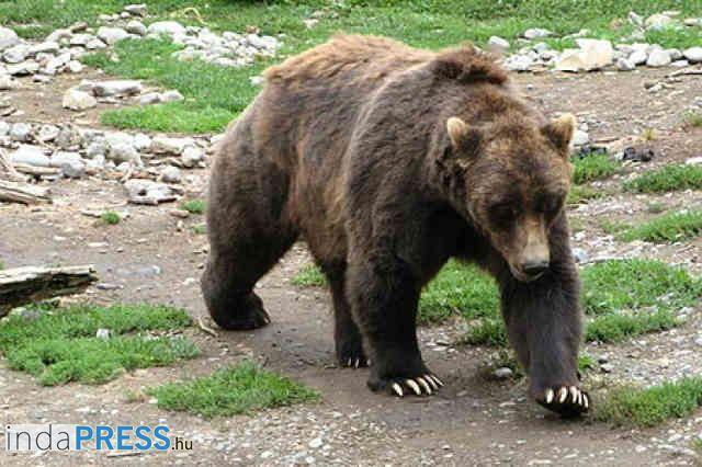 Viktor Janukovics és a Tiltott Nagymedvék